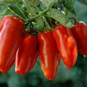 oro-rosso-festa-pomodoro